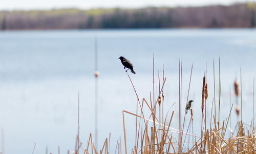 A bird perching on golden grass beside a lake.