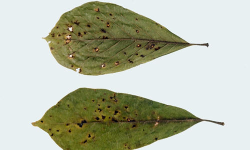 two leaves with holes with brown edges on a plain background