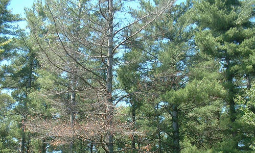 A white pine tree with dead top branches