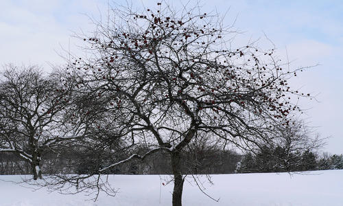 Crabapple tree on snow.