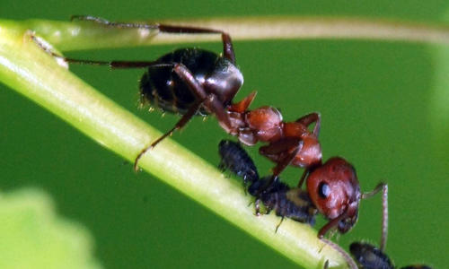 Field ant with brown head and thorax on a stem eating other insects.