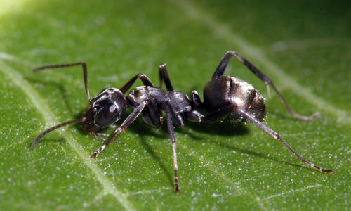 Black field ant worker on a green leaf.