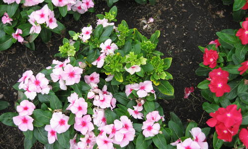 light pink small flower plants next  to plants with red flowers