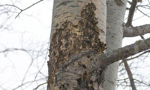Older canker with insect and woodpecker holes