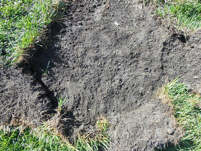 Area of lawn rolled up to expose dirt beneath with white grubs crawling through it