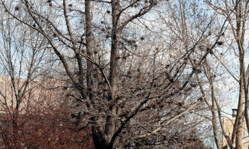 A common hackberry tree without leaves in winter showing short, twig-like clumps of witches broom.
