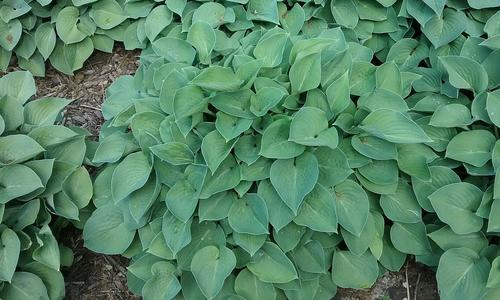 Mounds of blue-green hostas