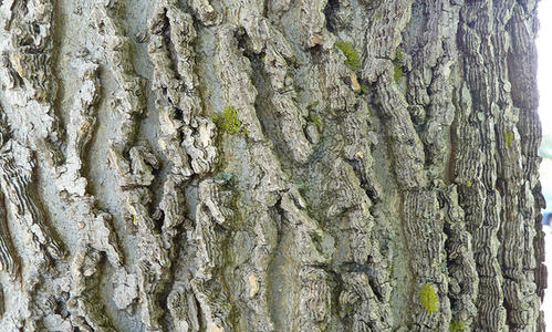 The corky and ridged gray bark of a common hackberry tree.