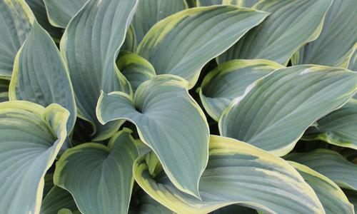 Gray-green hosta leaves edged in pale yellow