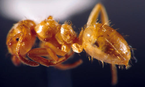 Larger yellow ant worker specimen.