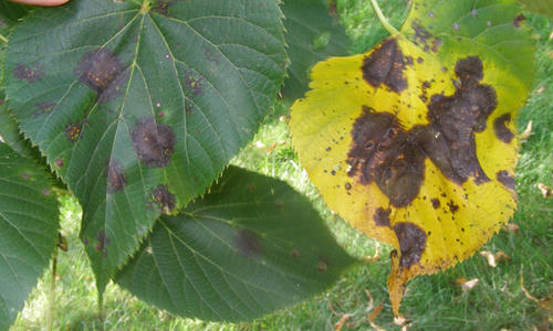 dark blotches on leaves on a tree. one leaf is yellow with blotches