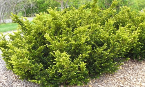 A large spreading bright green evergreen in a mulched bed with other like it, and with woodland and paths in the background.