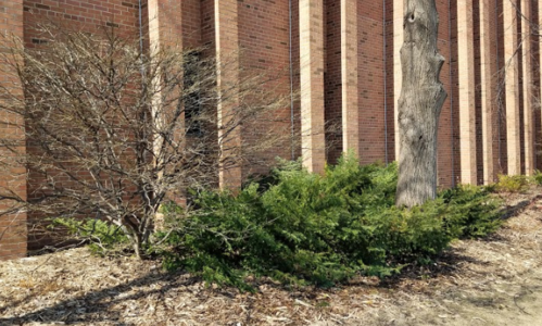 Dark green evergreen shrub growing beside a deciduous shrubs and tall tree trunk in front of a brick building.