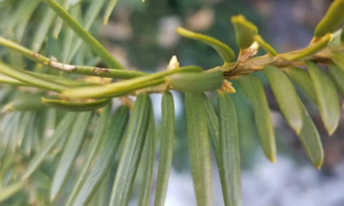 Close-up of a green evergreen branch with new buds.