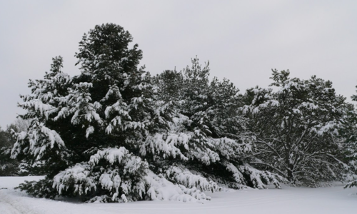 A large dark pine tree backed by other, smaller pines, all covered in fresh white snow.