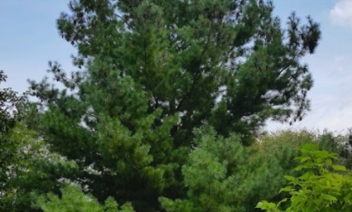 A large dark green pyramidal shaped evergreen tree planted in an open, grassy area with woodland in the background and a young deciduous tree in a mulched bed in the foreground.