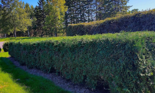 A formally sheared evergreen hedge with pine trees and a second hedge in the background and lawn in the foreground.