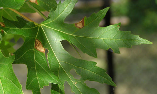 brown blotches and holes on maple leaves