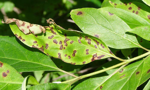 close up of leaves with brown spots and curled edges