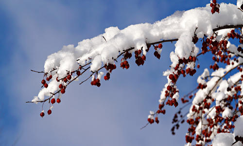 branch of berries covered with snow