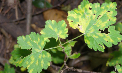 yellow discoloration  and holes on several leaves on a plant in a wooded area