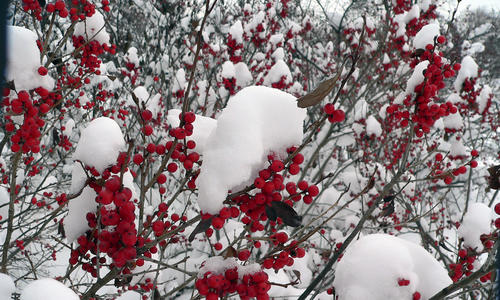 Red berries on bush in snow
