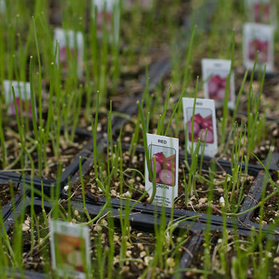 Red onion seedlings growing in rows of pots.