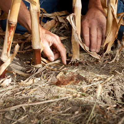 Human hands tending to brown corn roots in the soil