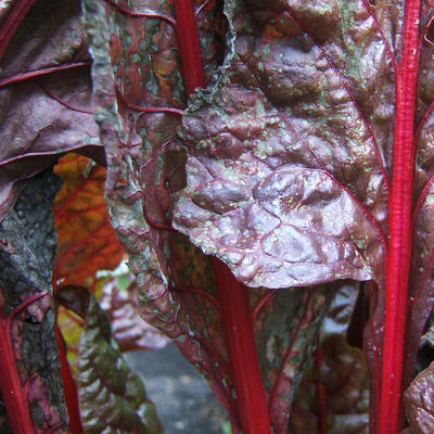 Purple Swiss chard leaf with gray leaf spot