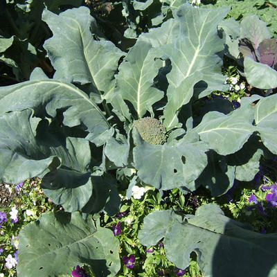 Green Windsor broccoli plant growing in garden