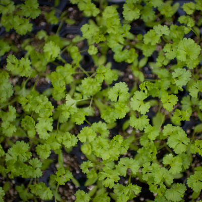 Green cilantro seedlings, photo taken from above