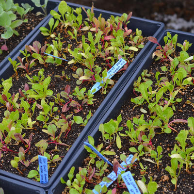 Swiss chard seedlings with green leaves and red stems growing indoors