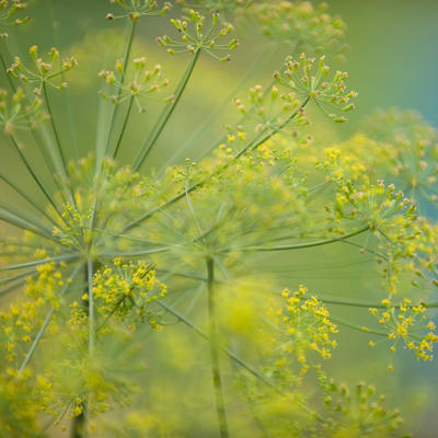 Dill seed head with green stems and yellow foliage