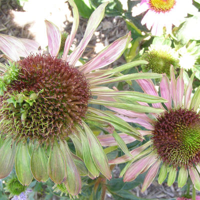 Discolored and malformed purple coneflowers