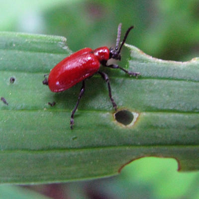 Red lily leaf beetle feeding on plant leaf.