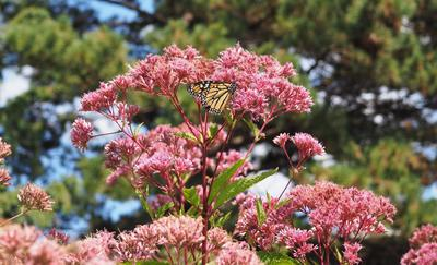 Monarch butterfly sitting on pink blooming flower with pine trees in the background.