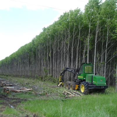 A plantation of hybrid poplar trees being harvested by heavy equipment.