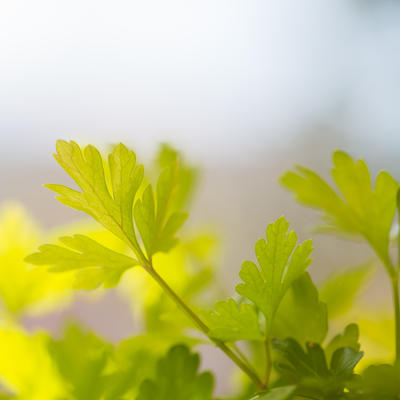 Green parsley foliage with blurred background