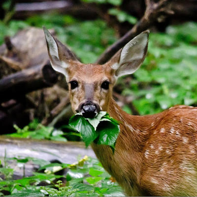 White-tailed deer eating leaves.