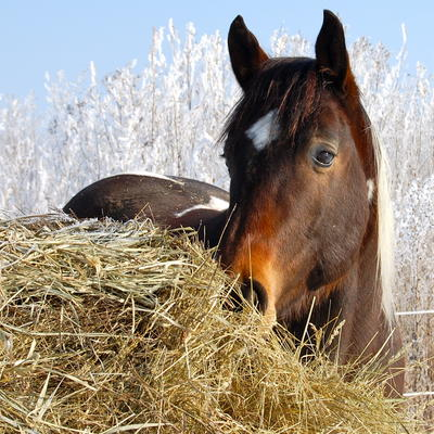 Horse standing near hay in winter scene.
