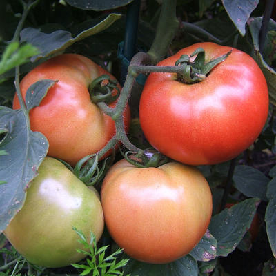 Four red and green tomatoes growing on plant