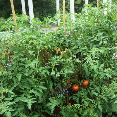 Indeterminate Big Beef tomato plant with red and green tomatoes