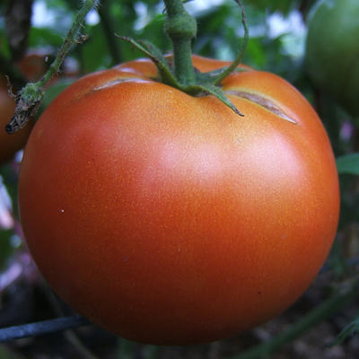 Growing tomatoes in home gardens | UMN Extension