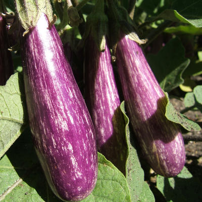 Purple and white Fairy Tale eggplants growing on plant