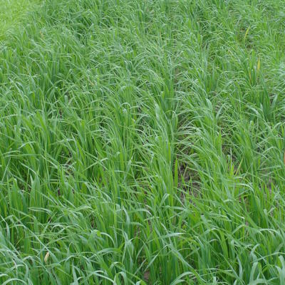 Spring oats