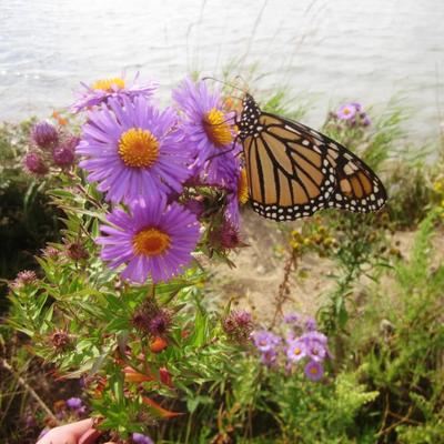monarch butterfly on flower near lake