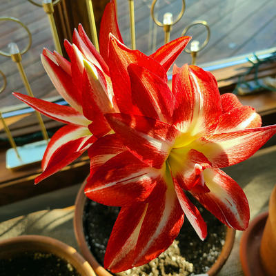 Large red and white striped amaryllis flower in a window.