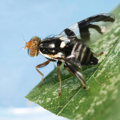 black and white striped fly on leaf