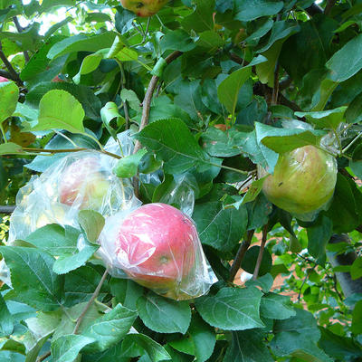 apples on tree. 3 have plastic bags on them