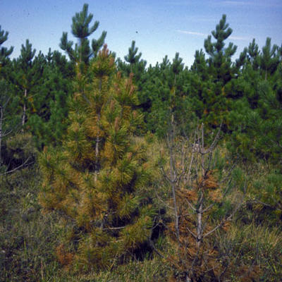 Young pines dying due to armillaria root rot